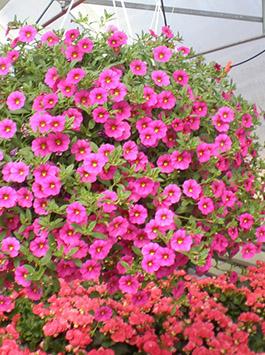 265_MF_Cherry pink2